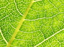 Green leaf close-up Stock Photos