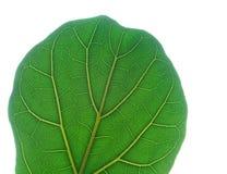 Green leaf close up Stock Image