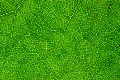 Green leaf close up. Royalty Free Stock Photography