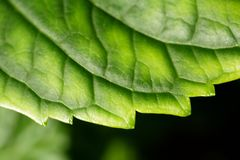 Green leaf close-up. Macro close-up of green leaf Royalty Free Stock Photo
