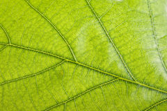 Green leaf close up Stock Photography