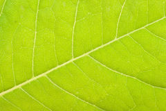 Green leaf close up Royalty Free Stock Image