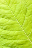 Green leaf close up Royalty Free Stock Images