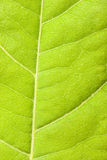 Green leaf close up Royalty Free Stock Photos