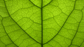 Green leaf close up. Able to see every details Royalty Free Stock Photo