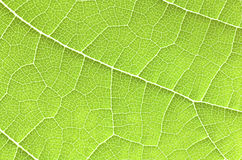 Green leaf close up. Royalty Free Stock Photo