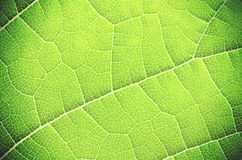 Green leaf close up. Royalty Free Stock Image