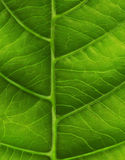 Green leaf close-up Royalty Free Stock Images