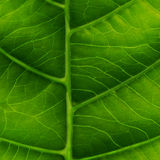Green leaf close-up Royalty Free Stock Photos