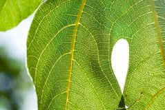 Green leaf close-up. Fig tree royalty free stock image