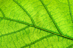Green leaf close up Royalty Free Stock Photography