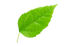 Green leaf close-up. Green leaf isolated on white Royalty Free Stock Image
