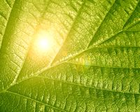 Green leaf Royalty Free Stock Images