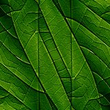 Green leaf. Close up of a green leaf with its veins royalty free illustration