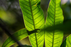 Green leaf close up Royalty Free Stock Photo
