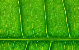 Green leaf close-up Stock Image
