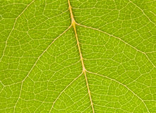 Green leaf close up. Nature background Stock Images