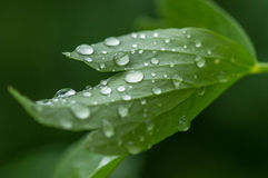 Green leaf close up showing water droplets Royalty Free Stock Photography