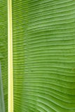 Green leaf. The close-up of leaf of traveller's-tree. Scientific name: Ravenala madagascariensis stock photos
