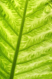 Green leaf, close up Royalty Free Stock Photography