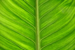 Green leaf close up view Royalty Free Stock Photos