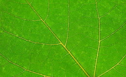 Green leaf, close-up view. Green leaf, macro, close-up view Stock Photography