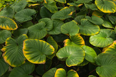 Green leaf. Close wallpaper picture Royalty Free Stock Image