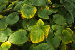 Green Leaf. Close wallpaper picture Royalty Free Stock Photography