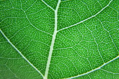Green Leaf. A closer view of a leaf stock images
