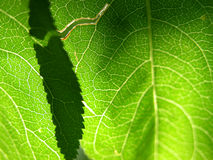 Green leaf closeup 1 Royalty Free Stock Image