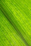Green leaf closeup Royalty Free Stock Image