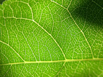 Green leaf closeup 2. Detail of a leaf, illuminated from behind royalty free stock photography