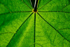 Green leaf closeup. Green leaf vein against the sun with shallow depth of field royalty free stock photography