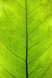 Green leaf closeup Royalty Free Stock Photography