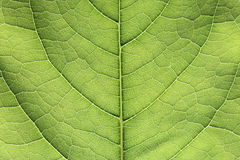 Green Leaf Closeup Royalty Free Stock Images