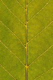 Green Leaf Closeup. Close up background photo of a green leaf. Texture, lines and veins are visible Stock Photography