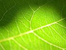 Green leaf closeup 3. Detail of a leaf, illuminated from behind royalty free stock photo