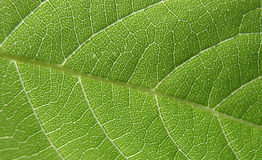 Green leaf closeup 4. Detail of a leaf, illuminated from above royalty free stock photos