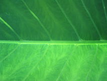 Green Leaf Closeup Stock Images