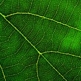Green leaf closeup Royalty Free Stock Photo