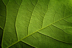 Green leaf closeup background Stock Photography