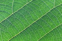 Green leaf closeup texture Stock Photos