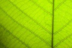 Green leaf closeup Stock Images