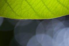 Green leaf closeup Stock Photography