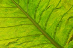 A green leaf. Royalty Free Stock Photography