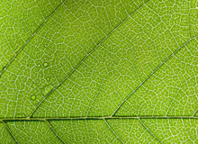 Green leaf closup Royalty Free Stock Photography