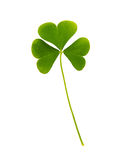 Green leaf of clover isolated on white backgroun Royalty Free Stock Images