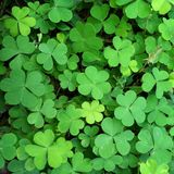 Green leaf Clover plant texture closeup background. S, Nature abstract texture backgrounds stock photo