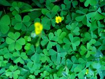 Green leaf Clover plant texture closeup background. S, Nature abstract texture backgrounds stock image