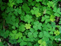Green leaf Clover plant texture closeup background. S, Nature abstract texture backgrounds royalty free stock image